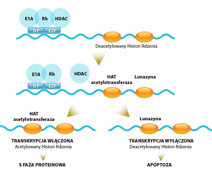 Lunazyna i jej działanie na epigenom